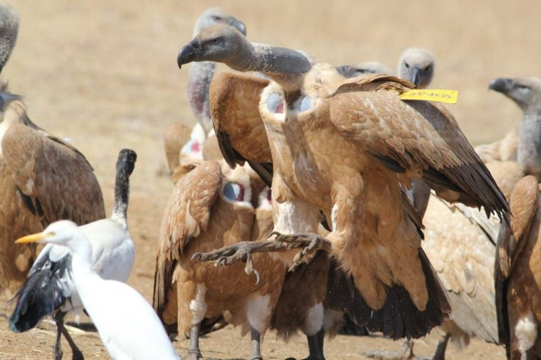 tagged cape vulture at vulpro